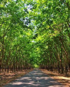 in a tunnel // no túnel das seringueiras  #seringueiras #rubbertrees #binhduong #vietnam #vietnã