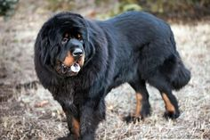 """Here at Get Leashed, we're big fans of """"floofiness"""" and the Tibetan Mastiff's extra """"floofy"""" double coat is a thing of wonder. Another old breed, Tibetan Mastiffs have been traced as ancestors to Newfoundlands, Great Danes, and Great Pyrenees. They may also have the RECORD as the most expensive dog sale of all time."""