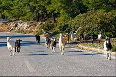 Αίτημα για απομάκρυνση ανεπιτήρητων ζώων από την Κοιλάδα των Πεταλούδων www.sta.cr/2Fsh3