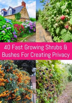 40 Fast Growing Shrubs and Bushes For Creating Privacy Privacy Hedges Fast Growing, Shrubs For Privacy, Shrubs For Landscaping, Fast Growing Shrubs, Fast Growing Evergreens, Garden Privacy, Landscaping Ideas, Privacy Trees, Backyard Ideas