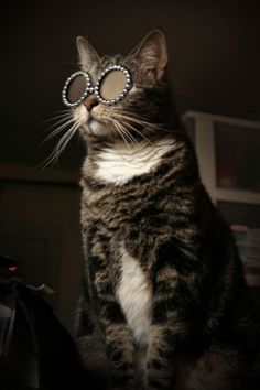 Feline leader of the Sir Elton John fan club... Love Elton John and this kitty looks like one of mine :)