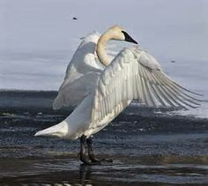 Ballet of Swans - Bing Images