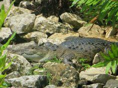 Zoetry Paraiso de la Bonita: Croc at the resort #simplepleasures