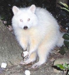 Albino raccoon eating marshmellows