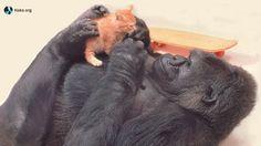 Koko the Gorilla with her kitten Lips