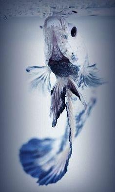 Betta Fish #betta #bettafish