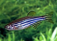 The zebrafish (Danio rerio) is a freshwater fish belonging to the minnow family (Cyprinidae) of the order Cypriniformes. Native to the Himalayan region, it is a popular aquarium fish, frequently sold under the trade name zebra danio. Ocean Aquarium, Tropical Aquarium, Freshwater Aquarium Fish, Tropical Fish, Aquarium Ideas, Danio Fish, Pet Fish, Wildlife Nature, Fish Art