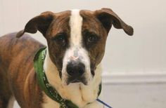 ADOPTED>NAME: Zeus  ANIMAL ID: 30051178 BREED: Boxer/mastiff mix  SEX: male  EST. AGE: 1 yr  Est Weight: 66 lbs  Health: heartworm neg  Temperament: dog friendly, people friendly  ADDITIONAL INFO: RESCUE PULL FEE: $49  Intake date: 10/29  Available: Now