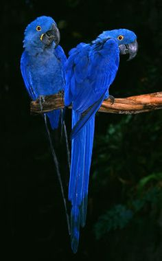 Beautiful blue parrots. Oh My Goodness they are beauties.