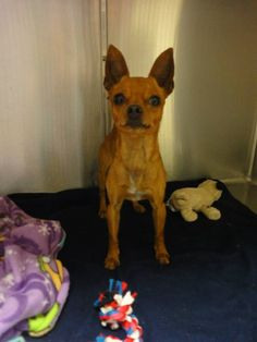 Thomas J. O'Connor Animal Control and Adoption Center Page Liked · July 31 ·     Hi, do you recognize me? I am a male chihuahua mix. I was found with another Chihuahua in Chicopee, Ma. If you know who I am please contact the shelter right away.