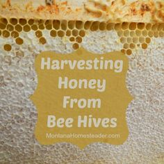 Last weekend we embarked on the sticky adventure of harvesting honey from our bee hives. Here in Montana, our season is short so when we first got our bees Decrystallize Honey, Harvesting Honey, Honey Bee Hives, Honey Bees, Raw Honey, Beekeeping Equipment, Buzz Bee, Raising Bees, Bee Friendly