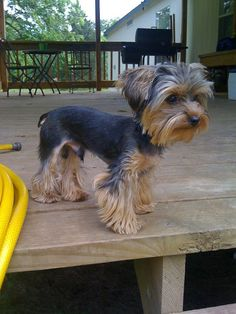"The Yorkshire Terrier or ""Yorkie"" is the most popular pet in the U. of the toy dogs, and it's not Continue reading Perros Yorkshire Terrier, Yorkshire Terrier Haircut, Lap Dogs, Dogs And Puppies, Yorkies, Yorkie Cuts, Yorkie Poo Haircut, Yorkie Hairstyles, Yorshire Terrier"
