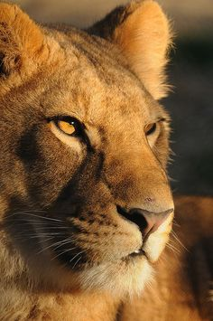 Lion be chillin'.