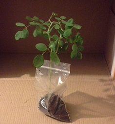 Moringa Oleifera Seedlings 6 Count Generic https://www.amazon.com/dp/B01BL237D2/ref=cm_sw_r_pi_dp_x_zMU5xbCSX8YDA