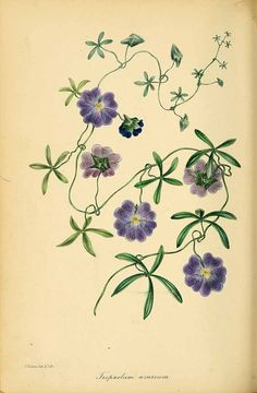 189306 Tropaeolum azureum Bertero ex Colla / Magazine of botany and register of flowering plants [J. Paxton], vol. 9: p. 247 (1839) [S. Holden]