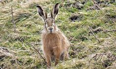 Country diary: Chapel Fell, Weardale: A close encounter with a hare sparks a moment of pure joy