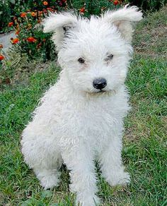 Hungarian pumi pup - the cutest dog ever!
