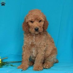 34 Best Poodles Images In 2019 Poodle Puppies Dogs