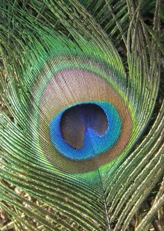 Peacock Feather | Peacock Feather Photograph by Rebecca Shupp - Peacock Feather Fine Art ...
