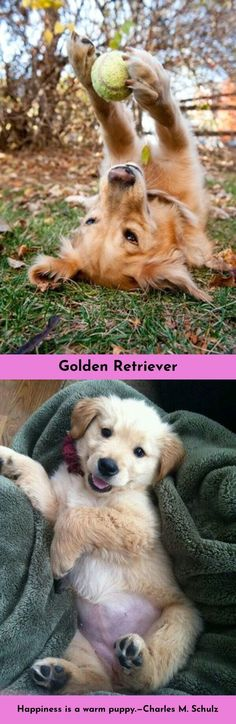 Click on the link to get more information Golden Retrievers Click the link to find out more.