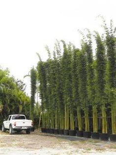 Graceful Bamboo | Bambusa Textilis Gracilis | Palmco - Wholesale Bamboo, Florida