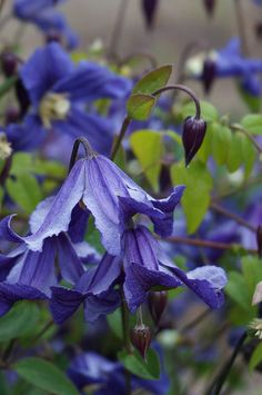 Clematis diversifolia 'Eriostemon' (2) | Flickr - Photo Sharing!