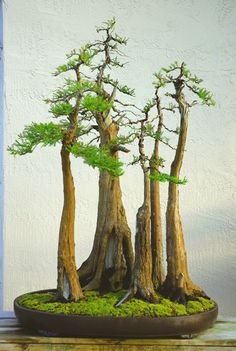 Bonsai:  Bald Cypress (Taxidonium distichum)    Categories: Best Overall Forest, Saikei, Penjing, or Planted   on Rock Bonsai and Best North American Forest, Saikei, Penjing, or Planted on Rock Bonsai.   Artist: Ed Trout