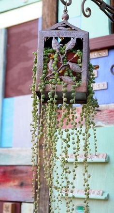 I love this string of pearls planted in a rusty lantern at Succulent Cafe (from… Succulent Display, Succulent Wall, Succulent Terrarium, Succulent Arrangements, Succulents In Containers, Cacti And Succulents, Planting Succulents, Veg Garden, Garden Plants
