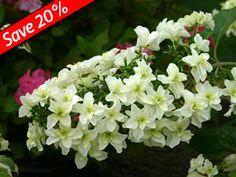 Double white flowering form of Oakleaf Hydrangea