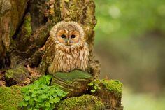 Photo Tawny Owl by Milan Zygmunt on 500px