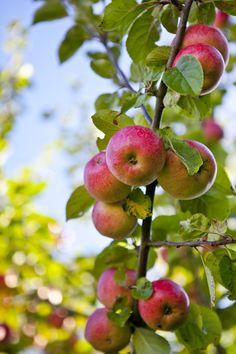 Äppelskörd - www.hildashem.se