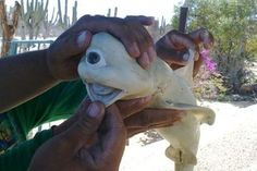 """A one-eyed """"Cyclops"""" shark caught off Mexico."""