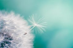 Dandelion photography nature botanical 11x14 12x18 16x24 inch large print dandelion photo blue green teal wall art spring macro dreamy mint
