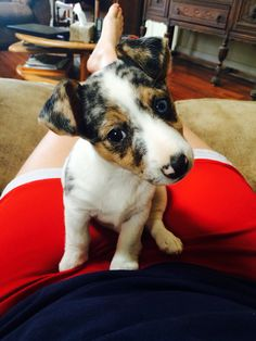 Blue Merle Jack Russell Terrier Puppy