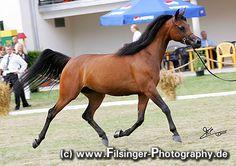 PIANISSIMA (Gazal Al Shaqab x Pianosa/ Eukaliptus) (*03)  Breeder & Owner: Janow Podlaski Stud ArabianFlashlights.com * FilCoARt