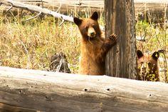 Love watching the black bear cubs play Black Bear Cub, Bear Cubs, Brown Bear, Wildlife, Fox, Play, Animals, Animales, Animaux