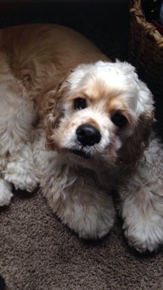 handsomedogs:  Charlie, a cocker spaniel (submitted by Simply-McKenzie)