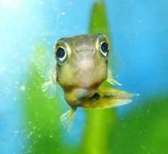 Cute dwarf puffer fish: )