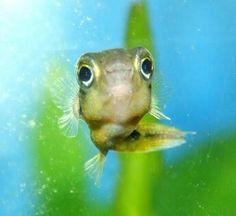 Cute dwarf puffer fish: )
