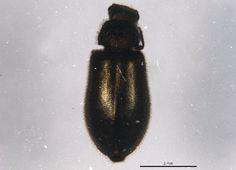 Soft-winged flower beetle (Hoppingiana hudsonica) collected in Waterton Lakes National Park, Alberta, Waterton Lakes National Park, National Parks, New Image, Beetle, Flower, June Bug, Beetles, Flowers