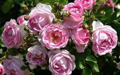 Kletterbogen Rosen : Rosenbogen aufstellen mein schöner garten