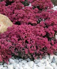 Look at this #zulilyfind!  Dazzleberry Sedum - Capable of growing in even the driest climates, these sedum plants feature pearl blue foliage and raspberry pink flowers for colorizing your garden or home décor. Perennial/Grows to 4-8''H x 18''W Full sun exposure/Zones 4 to 9 Bloom period: summer