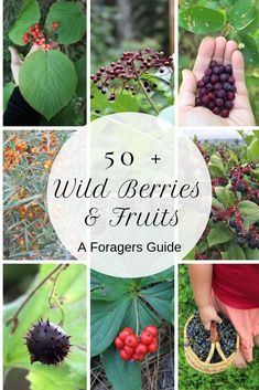 50 Wild Edible Berries and Fruits A Forager's Guide There are literally thousands of edible wild plants but wild fruits are some of the tastiest (and funnest) to find. Learn about new edible wild fruits with this foragers guide. Permaculture, Highbush Cranberry, Edible Wild Plants, Wild Blueberries, Wild Edibles, Edible Flowers, May Flowers, Back To Nature, Medicinal Plants
