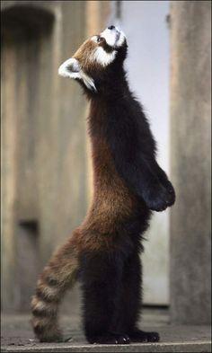 standing red panda 立っているレッサーパンダ