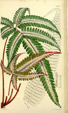Pteris Brake Fern from Tropical botanical lithographs from the Fitch Curtis Years Illustration Botanique, Plant Illustration, Botanical Illustration, Missouri Botanical Garden, Botanical Gardens, Botanical Drawings, Botanical Prints, Morris, Leaf Art