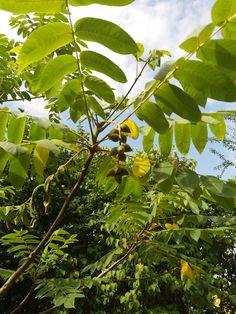 Heartnut (juglans ailanthifolia)