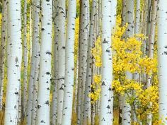 Metal Print: Aspen Grove, White River National Forest, Colorado, USA by Rob Tilley : Burlap Wall Decor, Sun Wall Decor, Letter Wall Decor, Bathroom Wall Decor, Metal Wall Decor, Bedroom Wall, Wall Decor Stickers, Decals, Lounge