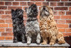 singing Cairn Terriers
