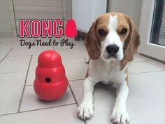 Testing out the KONG Wobbler! Good fun , awesome toy. Special thx to KONG for sending me this. Facebook : https://www.facebook.com/beaglelouie