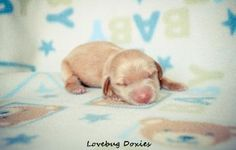 Available ee red newborn Dachshund